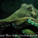 гигантскийосьминог