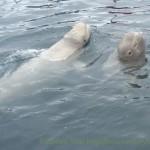 кит белуха